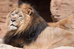 Lion, portrait of the king Royalty Free Stock Photos