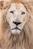 Lion portrait Royalty Free Stock Photo