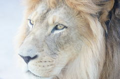 Lion Portrait. Male lion watching guests pass by at the Denver Zoo in Colorado Stock Photography