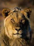 Lion Portrait. Maned Lion portrait, yellow eyes staring Stock Images