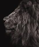 Lion portrait. A monochrome male lion portrait against a black background royalty free stock image