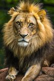 Lion Portrait Posing Lizenzfreie Stockfotografie