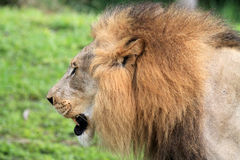 Lion portrait in profile Royalty Free Stock Photography