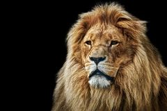 Lion portrait with rich mane on black. Lion portrait on black background. Big adult lion with rich mane royalty free stock photography