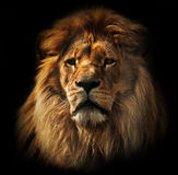 Lion portrait with rich mane on black. Lion portrait on black background. Big adult lion with rich mane royalty free stock photos