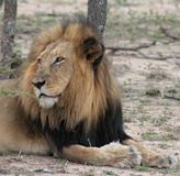Lion portrait in the Savanna. – South Africa Stock Photography