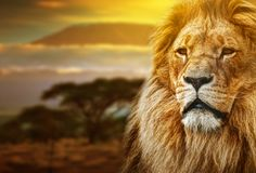 Lion portrait on savanna landscape. Background and Mount Kilimanjaro at sunset Stock Photography