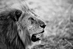 Lion portrait in the Serengeti National Park stock photo