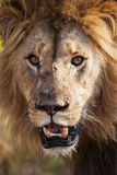 Lion Portrait South Africa Royalty Free Stock Photos