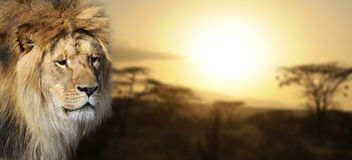 Lion portrait at sunset Royalty Free Stock Photos