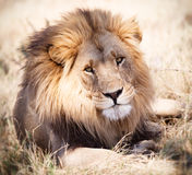 Lion portrait watching intently in Zambia Africa. On safari Royalty Free Stock Images