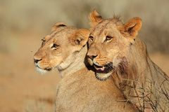 Lion portraits Royalty Free Stock Photography