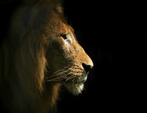 Lion Portriat latéral Photo libre de droits