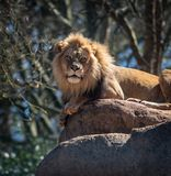Lion Poses Atop een Grote Kei royalty-vrije stock foto's