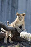Lion poses on tree Stock Photography