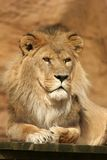 Lion Posing Stock Photos