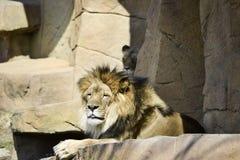 Lion Posing para o fotógrafo Fotografia de Stock Royalty Free