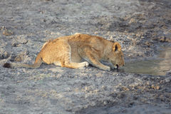 lion potable d'animal Image stock