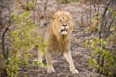 Lion Power Royalty Free Stock Photos