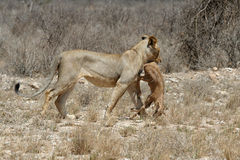 Lion Prey. Tsavo lion walking away with small gazelle in his mouth Stock Photography