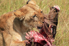 Lion With Prey. Close-up of a Lion (Panthera Leo) Eating a Wildebeest, Maasai Mara, Kenya Stock Image