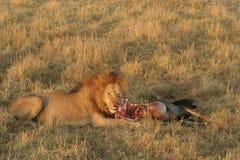 Lion with prey. Lion feading, Wildlife, Savanna, Maasai National Reserve, Southwestern Kenya, Africa stock images