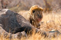 Lion with prey Royalty Free Stock Photos