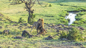 Lion with prey in Masai Mara National Park. Royalty Free Stock Photo