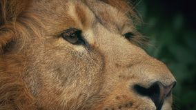 Lion Ears Up In Jungle. Closeup of a big male lion looking around in the jungle stock footage