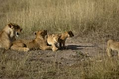 Lion pride. Pride of lions in the bush with babies Stock Image