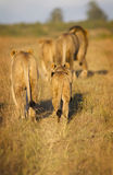 Lion pride Royalty Free Stock Photo
