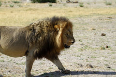 Lion Pride Big Boy A Walking Stock Photos