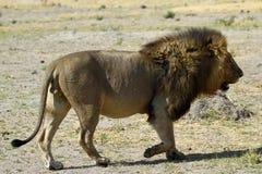 Lion Pride Big Boy A Walking Stock Photo