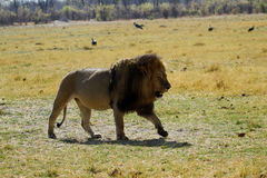 Lion Pride Big Boy A Walking Royalty Free Stock Photography