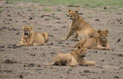 Lion Pride en Afrique photo stock