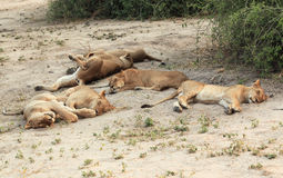 Lion pride, a family of lionesses sleeping and resting in the savannah. Kenya royalty free stock image