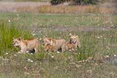 Lion Pride in Formation in Wetland Stock Photos