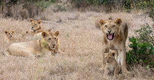 Lion pride in grasslands on the Masai Mara, Kenya Africa. Family royalty free stock images