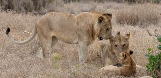 Lion pride in grasslands on the Masai Mara, Kenya Africa. Adults talking to cub royalty free stock photography