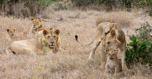 Lion pride in grasslands on the Masai Mara, Kenya Africa. With one lion picking up cub royalty free stock images