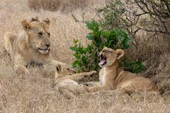 Lion pride in grasslands on the Masai Mara, Kenya Africa. With one yawning royalty free stock photo