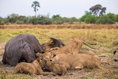 A lion pride with its kill. A lion pride with its hippopotamus kill at the Moremi Game Reserve in Botswana stock photography