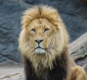 Lion pride of the jungle. Powerful Lion pride of the jungle stock images