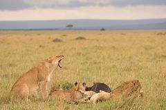 Lion pride at a kill. In late evening in Masai Mara Game Reserve, Kenya stock images