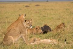 Lion pride at a kill. In late evening in Masai Mara Game Reserve, Kenya stock photo