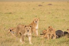 Lion pride at a kill. In late evening in Masai Mara Game Reserve, Kenya royalty free stock images
