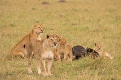 Lion pride at a kill. In late evening in Masai Mara Game Reserve, Kenya royalty free stock photo