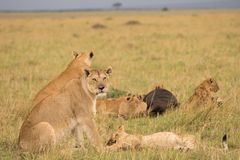 Lion pride at a kill. In late evening in Masai Mara Game Reserve, Kenya royalty free stock photos