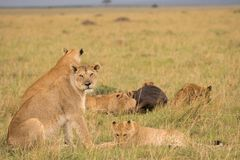 Lion pride at a kill. In late evening in Masai Mara Game Reserve, Kenya stock image