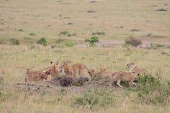 Lion pride at a kill. In Masai Mara Game Reserve, Kenya royalty free stock photos